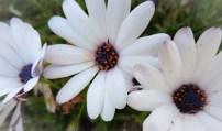 flower white