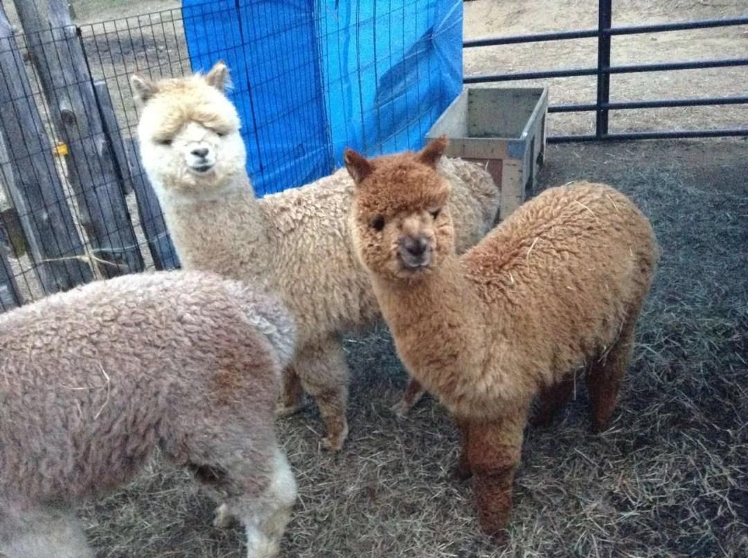 Blackberry Ridge Farm Alpacas - Wolcott, VT 05680