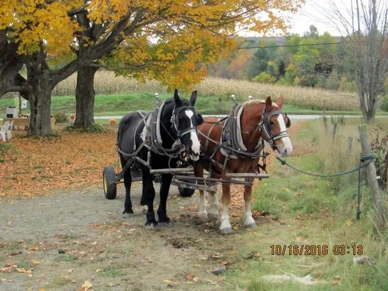 Albany Farm Stand work horses - Albany, VT