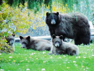 Bear and Cubs in Bear Country