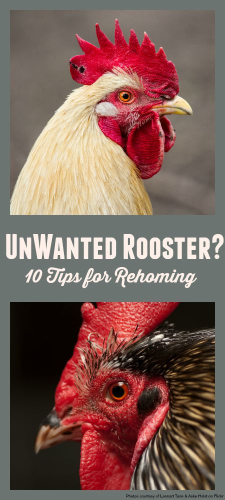 10 tips for dealing with an unwanted rooster. How we rehomed our cockerel. #chickens #rooster