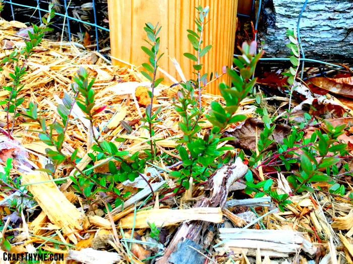 These small plants are what grows the humble cranberry.