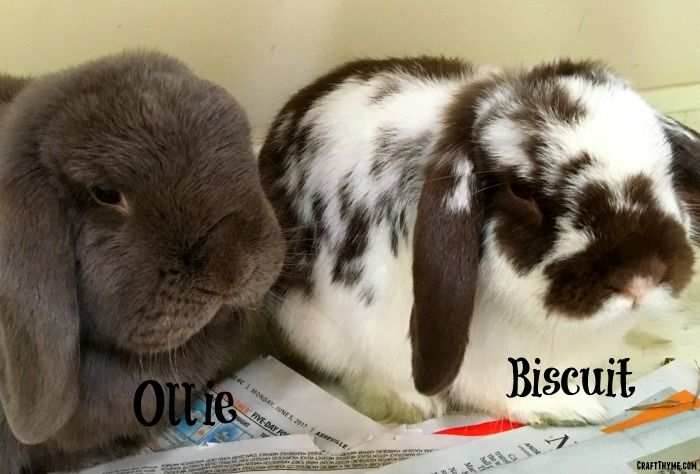 Our new family members; Ollie and Biscuit our mini-lop rabbits