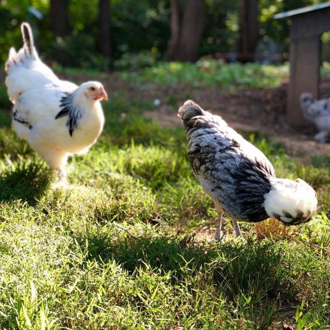Happy polish and brahma chickens