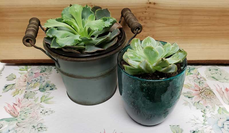 Potted Succulent @ Beaverton Location | Vancouver | Washington | United States