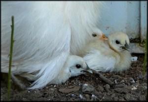 motherhen-chicks-ptg