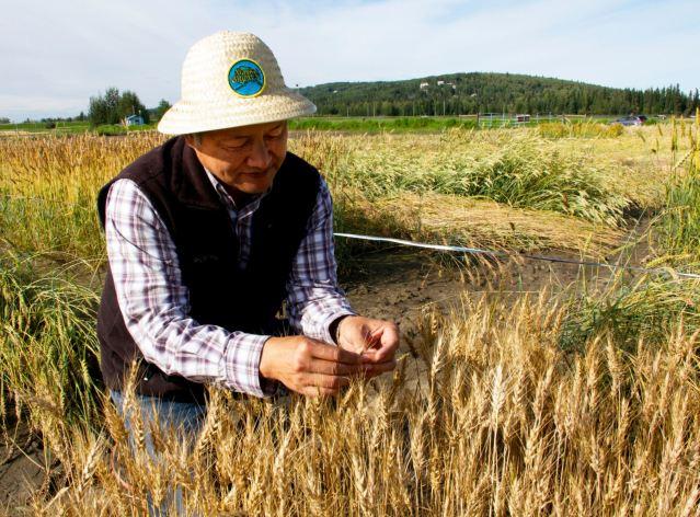 UAF wheat
