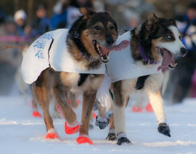 Sled_dogs_with_mixed_booties_-_2013_Iditarod_Ceremonial_Start