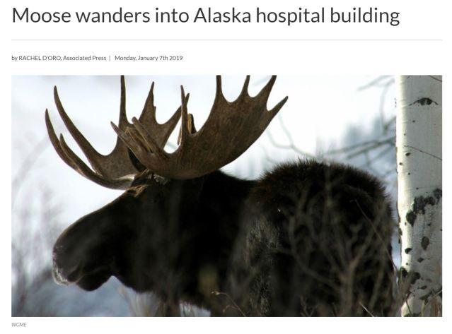 moose in hopsital