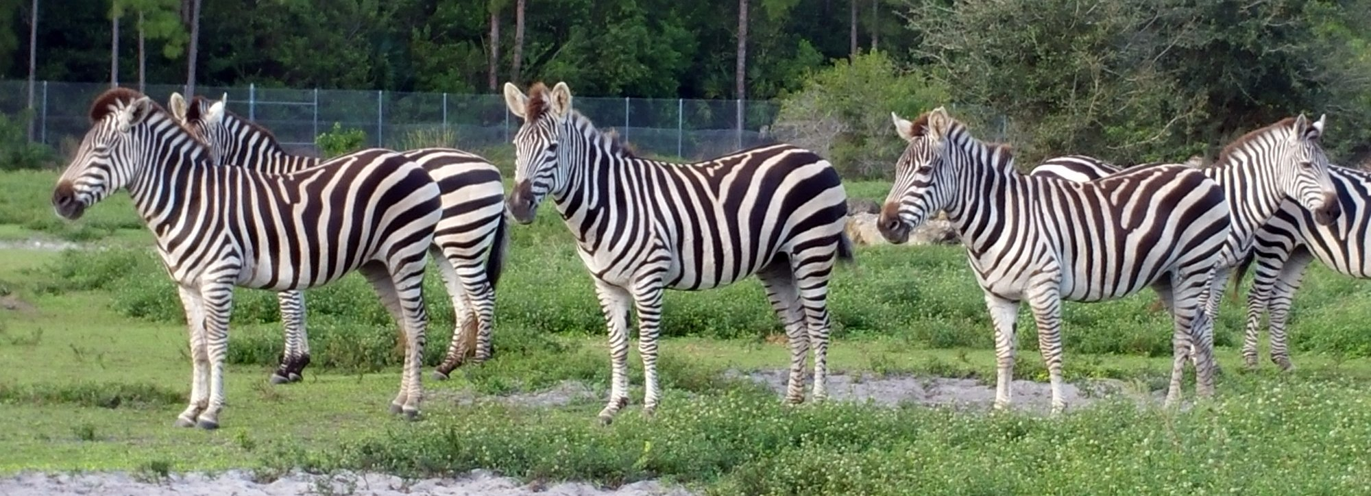 zebras-lion-country-safari