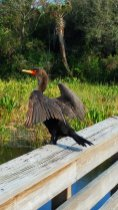 A cormorant dries its wings at Green Cay Wetlands in western Palm Beach County. (Craig Davis/CraigslegzTravels)