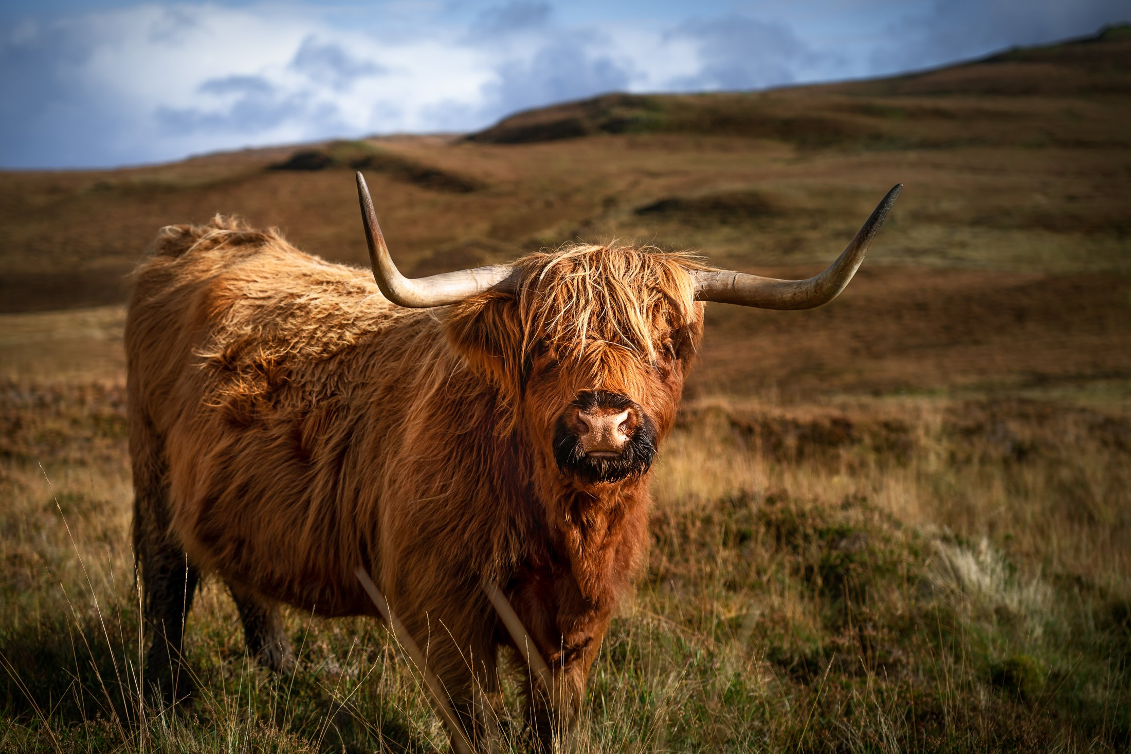 Highland cattle, distinguished by their shaggy coats and upturned horns, are a Scottish breed. (Glenn Davis/Glenndavisphotography.com)
