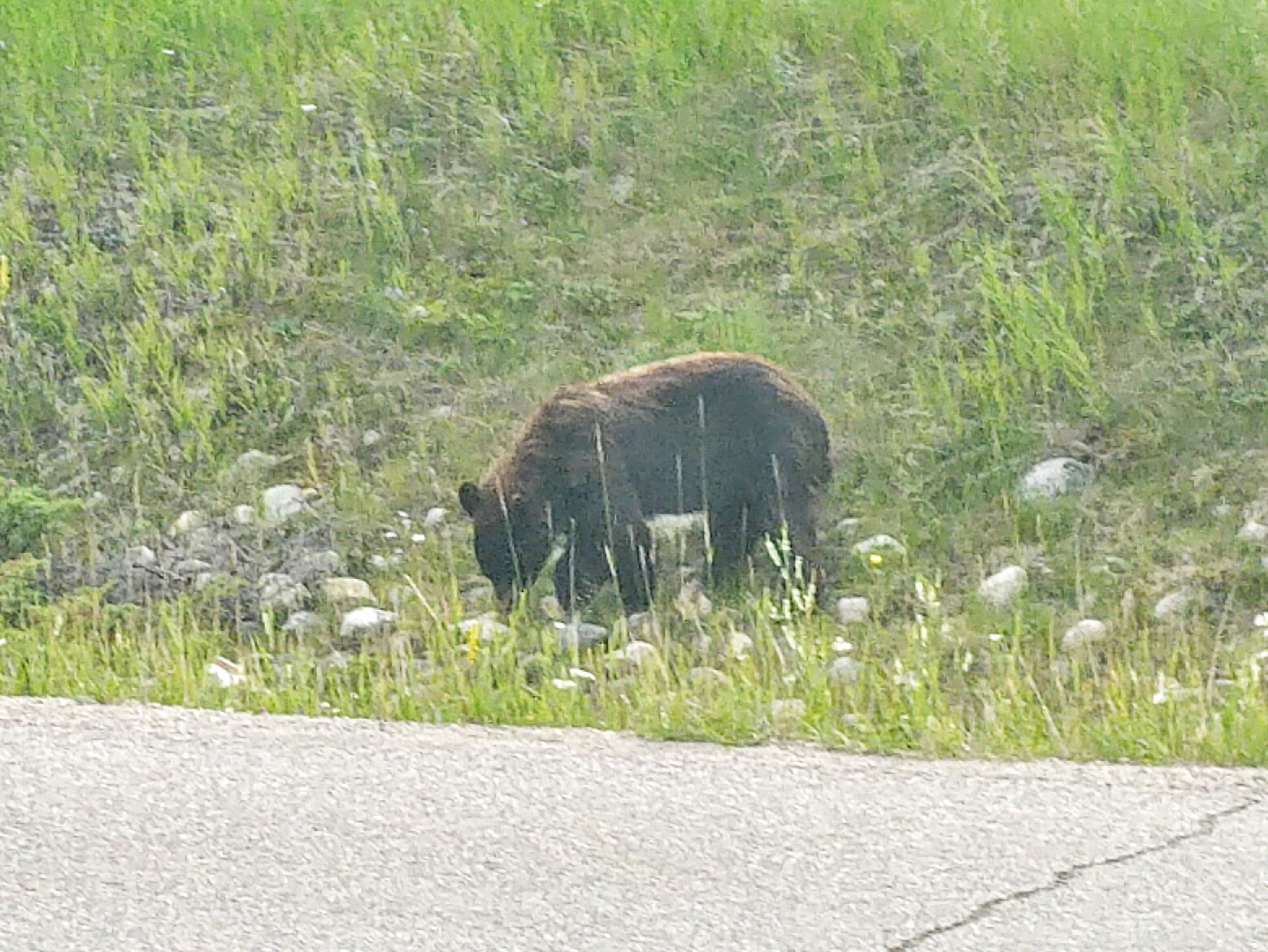 A grizzly feeds next to the Icefields Parkway near Jasper, where sightings are common. (Craig Davis/craigslegztravels.com)