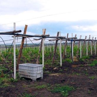 Plantaţii Pietroasa