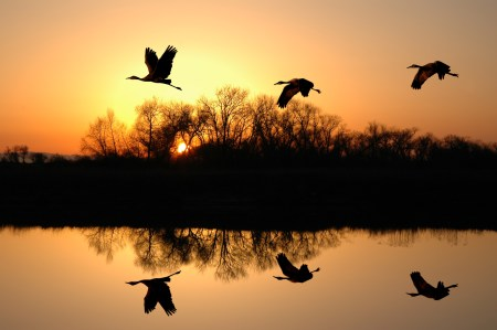 Silhouette of Endangered Sandhill Cranes and Golden Sunset Reflected along the Platte River.