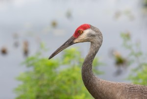 The Sandhill Crane is a found in open fields or along the Platte River.