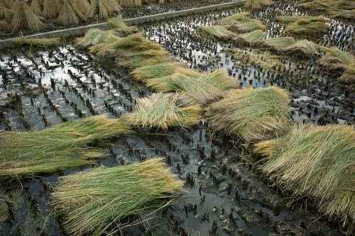 Rice_harvest-4