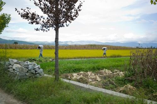 Rice_harvest-6