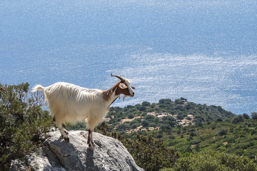 Mountain_goats-2