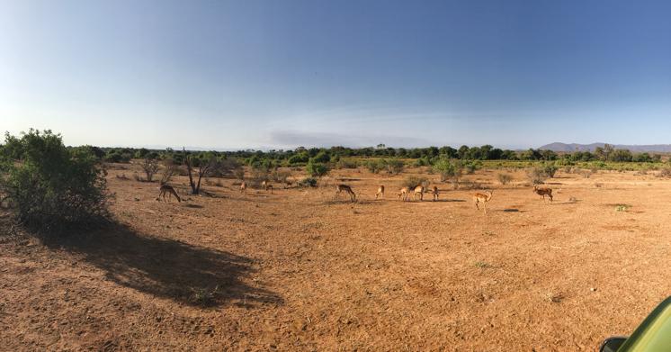 Impalas au Kenya