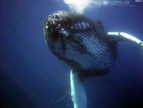 Baleine en Polynésie