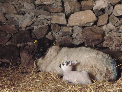 Badger-face lamb