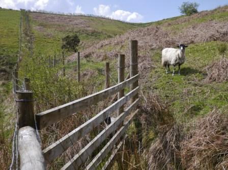 Ewe & Lamb separated!