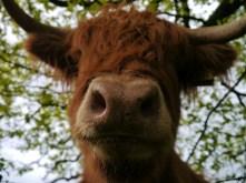 Mr. Moo-cow