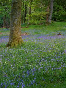 bluebells and woodland
