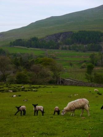lambs en route