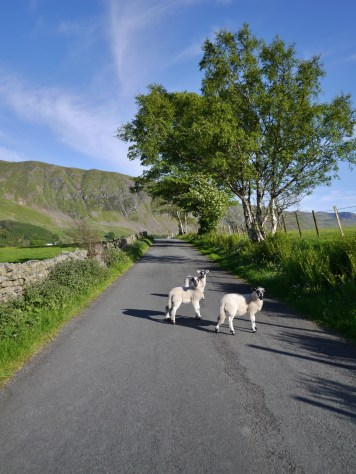 lambs on the loose!