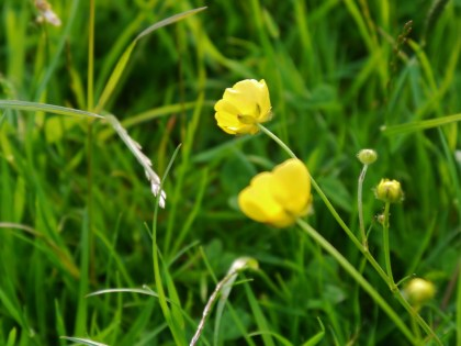 Wee buttercups