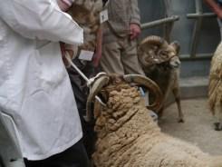 Rare breed show