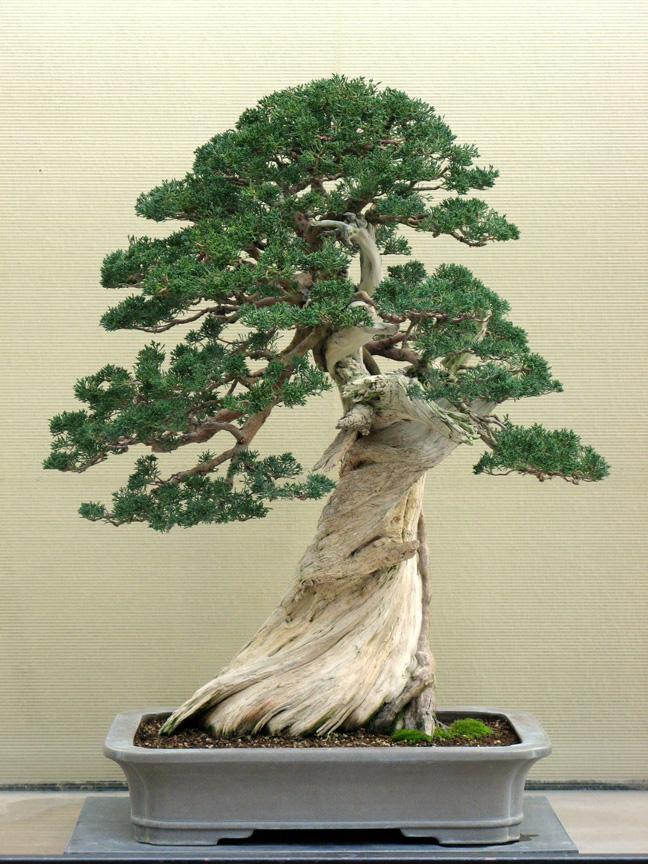 Pacific Rim juniper after