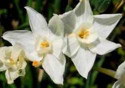 DaffodilsWhite 2-29-2016 10-46-10 AM