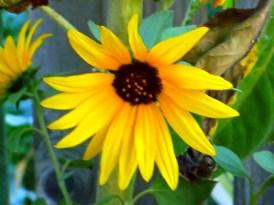 SmallSunflowerBloomSatBoost 7-27-2015 7-19-47 PM