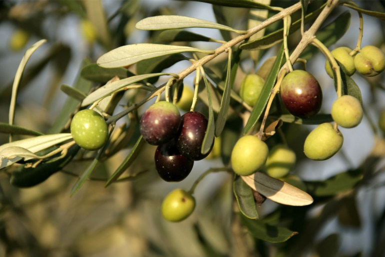 This is why you've never eaten a fresh olive