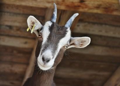 goat-3613728_1920