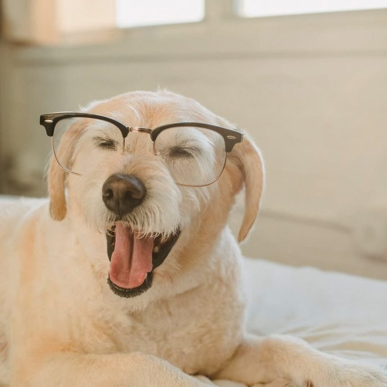 cute dog in glasses yawning on bed