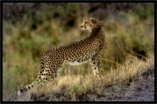 Cheetah_by_Graham Russell