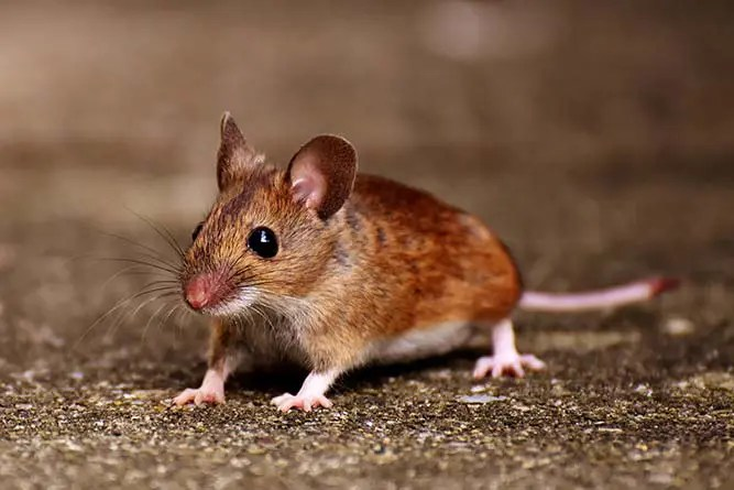 How to Prevent a Rodent Infestation
