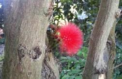 Red powderpuff