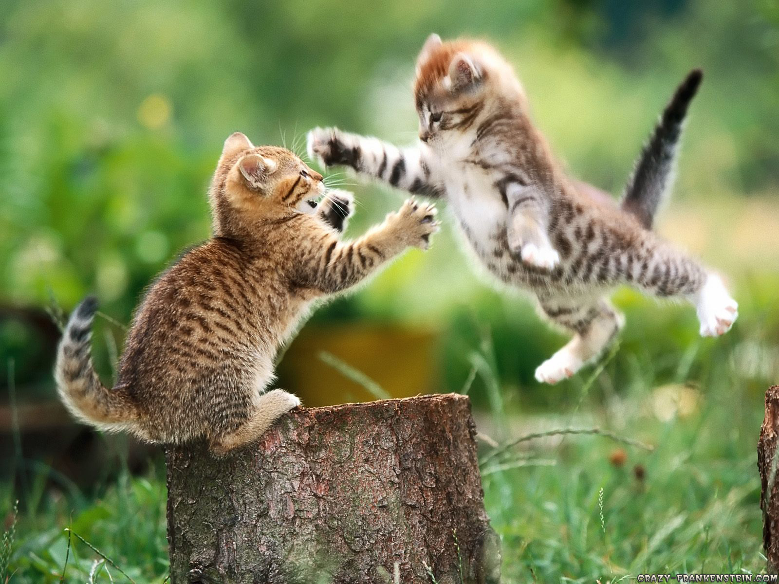 Wallpaper: Cat fight. Resolution: 1024x768 | 1600x1200