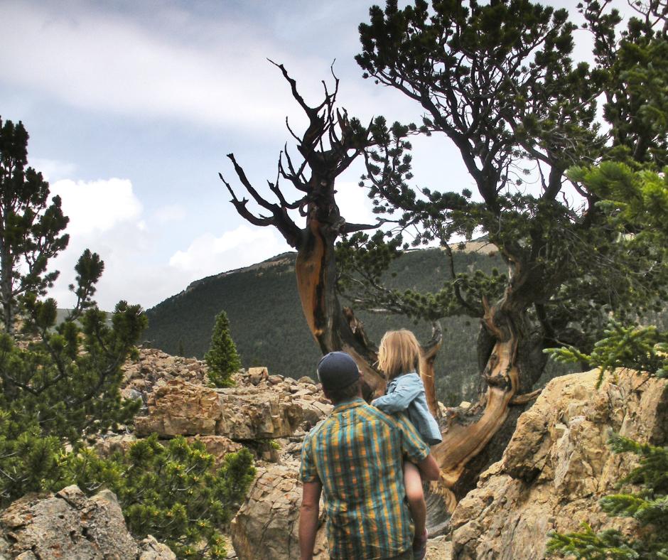 Limber Grove Trail, Fairplay hikes, Colorado hikes, where to see bristlecone pines, hikes near Alma, Hikes near Fairplay, short hikes, Hikes with kids, family friendly hikes, Colorado vacation, Road trips in Colorado, crazyaboutcolorado.com
