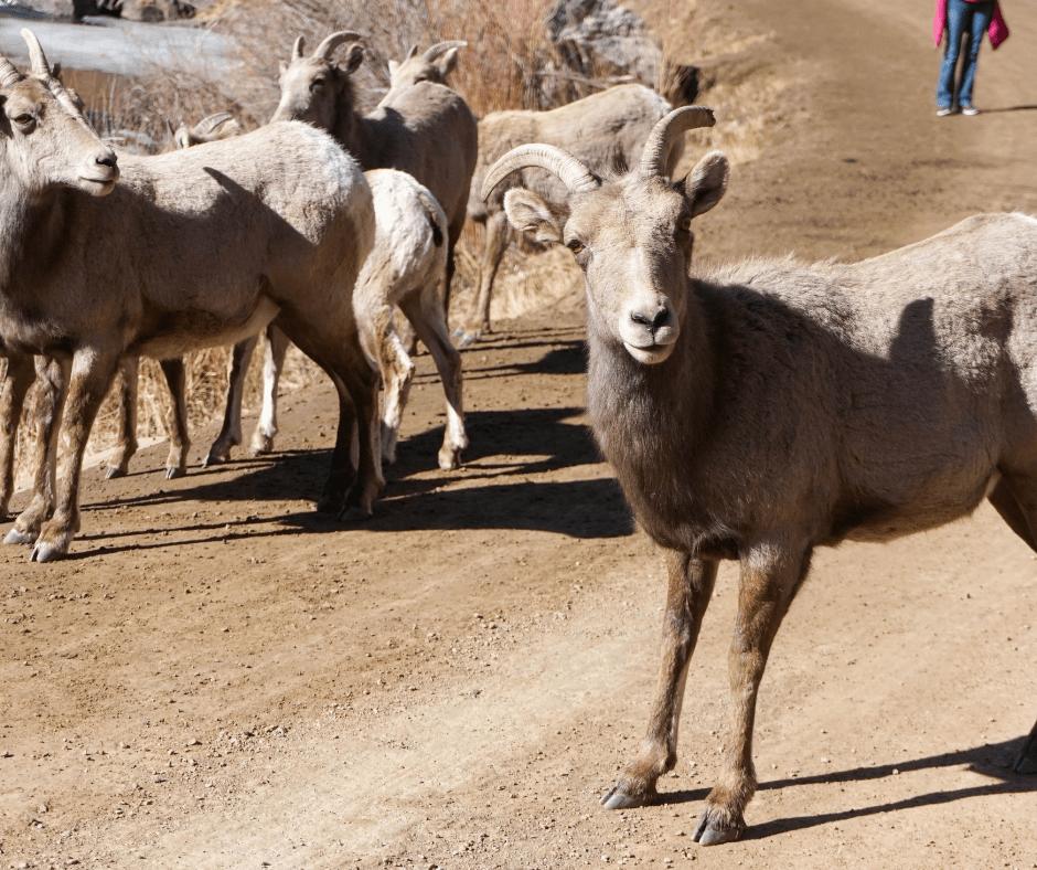 Rocky Mountain Bighorn Sheep, Waterton Canyon, Colorado Hikes