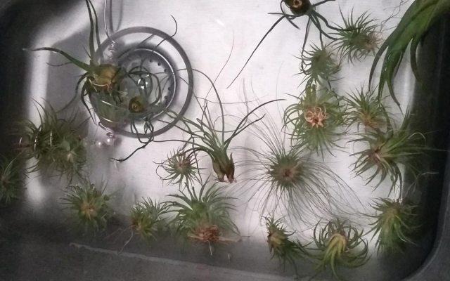 air plants soaking in water