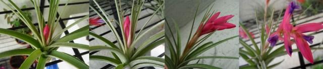 blooming air plants