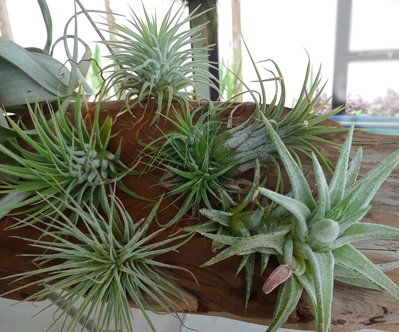 How to Water Air Plants: Misting