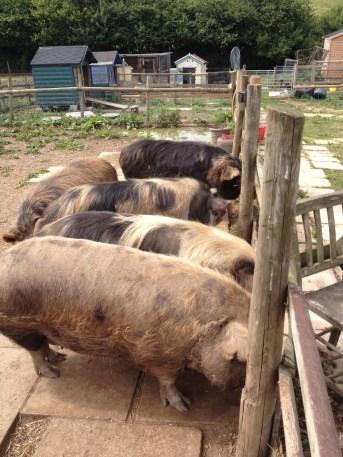 Piggy wiggs
