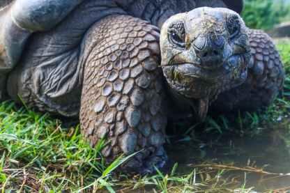 closeup photo of galapagos tortoise